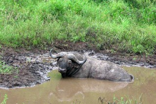 Buffalo enjoying a 'beauty' mud bath!
