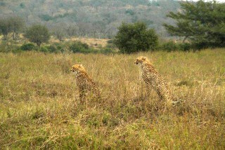 """Big 5"" Safari Tour - Cheetah"