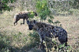 """Big 5"" Safari Tour - Wild dogs"