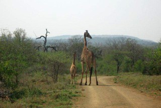 """Big 5"" Safari Tour - Giraffe ""mum"" with her youngster."