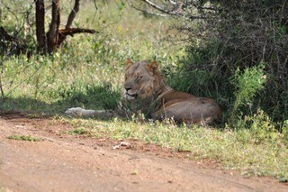 """Big 5"" Safari Tour - Lioness lazing in the shade next to the road."